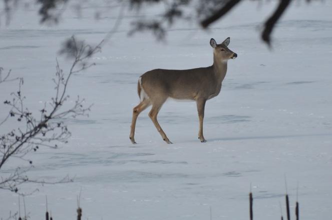 DSC_7965 deer