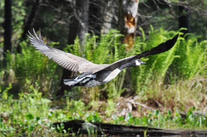 Goose Flight 2